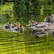Duck and Newborn Ducklings