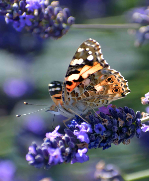 Peacock butterfly on Lavender.