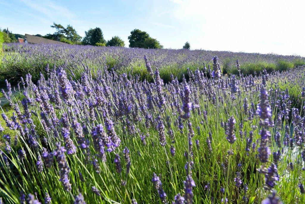 Farmers` Welsh Lavender field