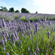 Farmers` Welsh Lavender field