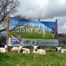 Do these Lambs know what they are voting for ?
