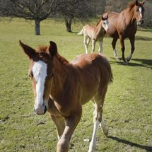 Newly born Foals  with Mare.