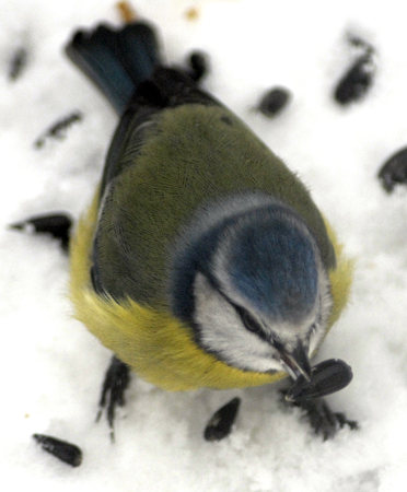 Blue Tit, eating a sunflower seed in the snow