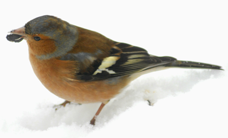 Chaffinch  with sunflower seed.