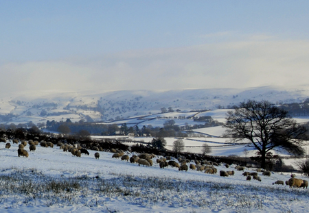 Sheep in  field in Winter