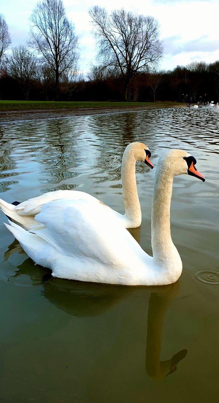 Swans at the rowing lake