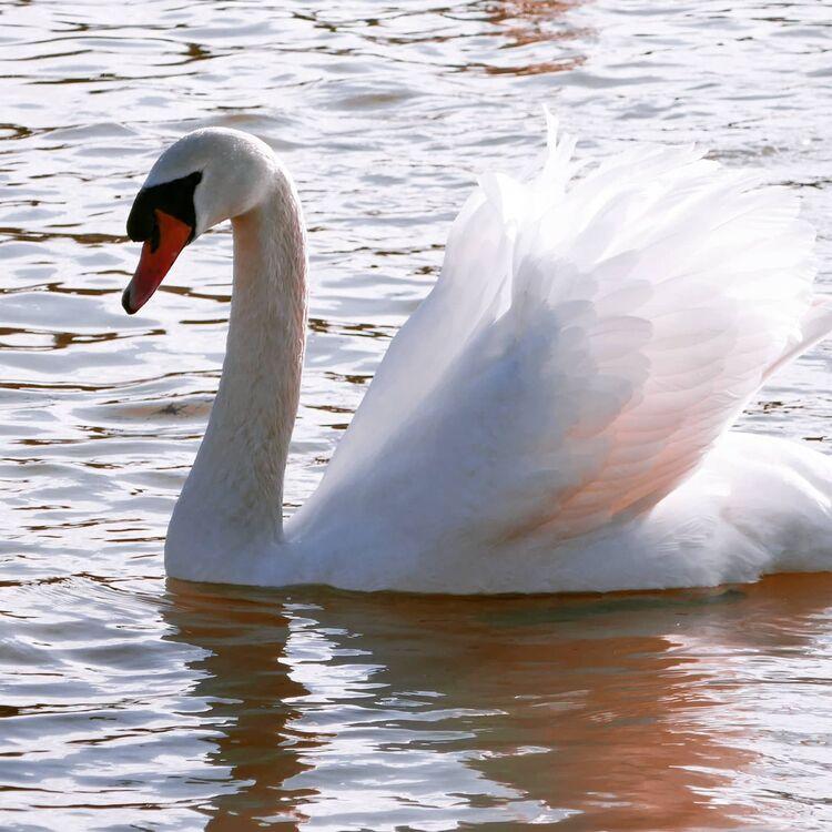 Swan at the rowing lake.