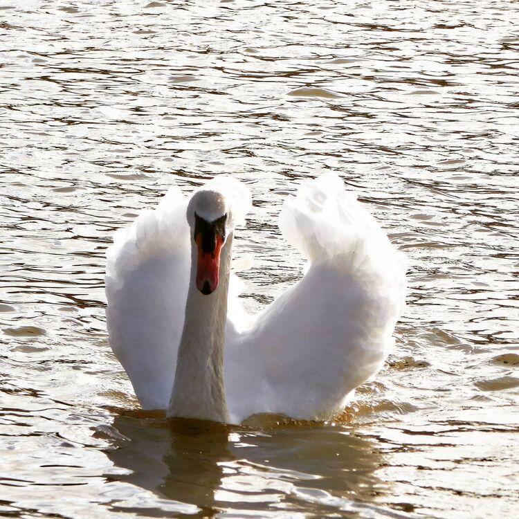 Swan at the rowing lake