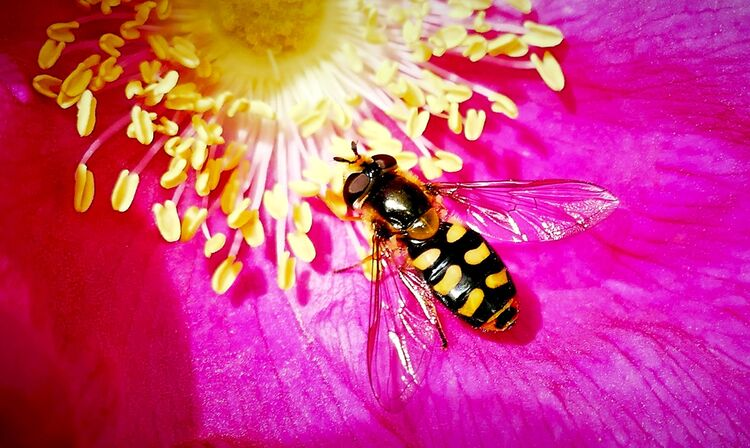 Hoverfly Black and Yellow