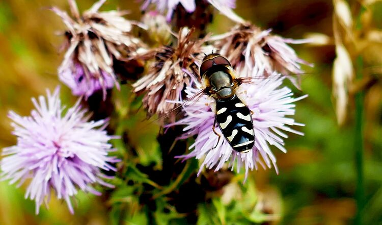 Hoverfly, Black and White