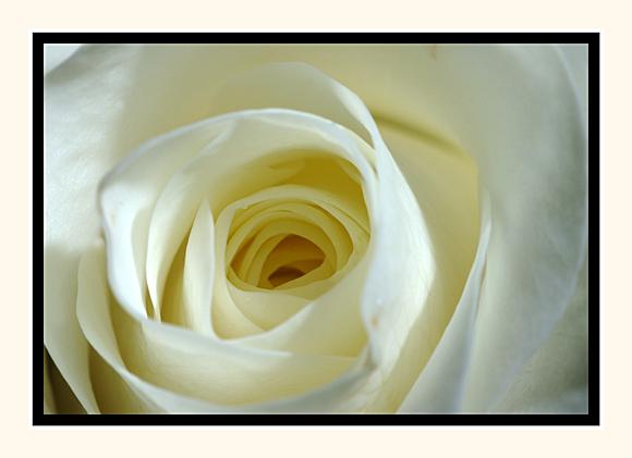 The Brides Rose
