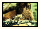 Wavy Grubfish