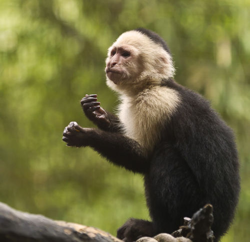 """White-headed capuchin"""