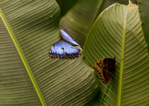 """""""The iridescent Blue Morpho Butterfly"""""""