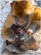 Barbary Ape - Mum and Baby