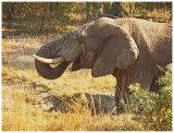 Elephant in Kruger