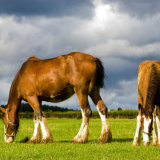 Bute Clydesdales