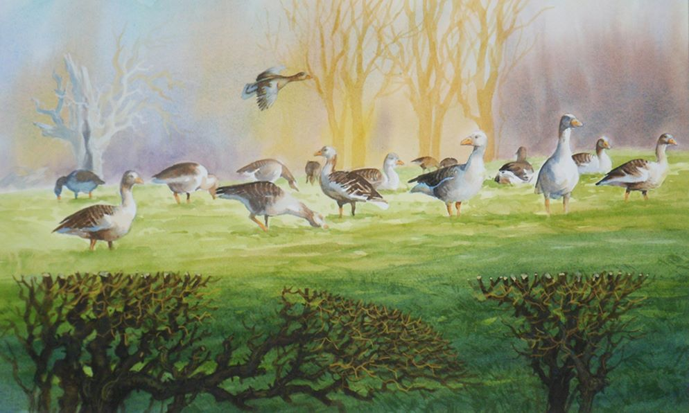 Canada Geese Gathering