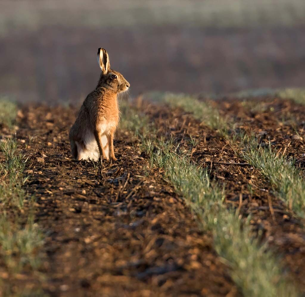 Brown Hare at Sunrise by Alan Rich 11