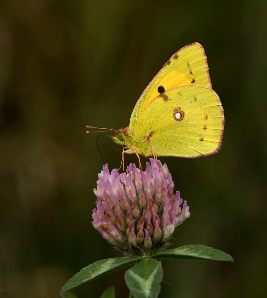 Clouded Yellow by Alan Rich 10