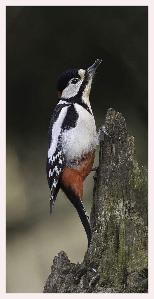 Great Spotted Woodpecker by Alan Butler 10