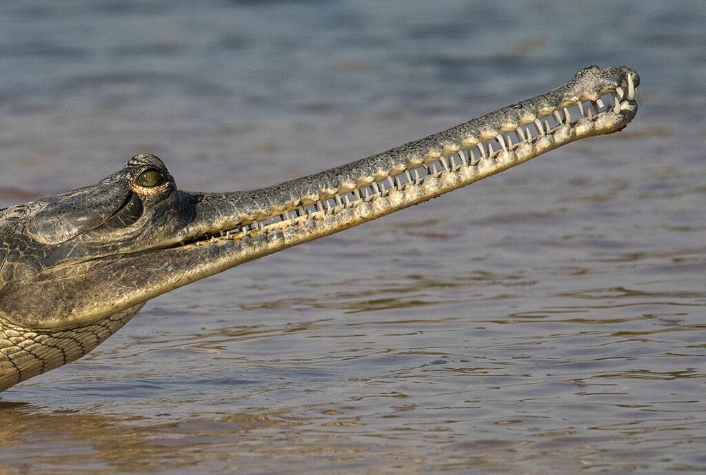 Gharial Crocodile by Martin Robinson AR