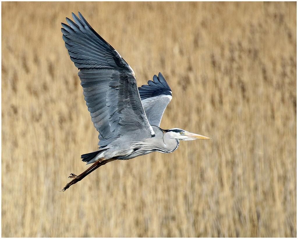 Heron by Alan Butler 13 A