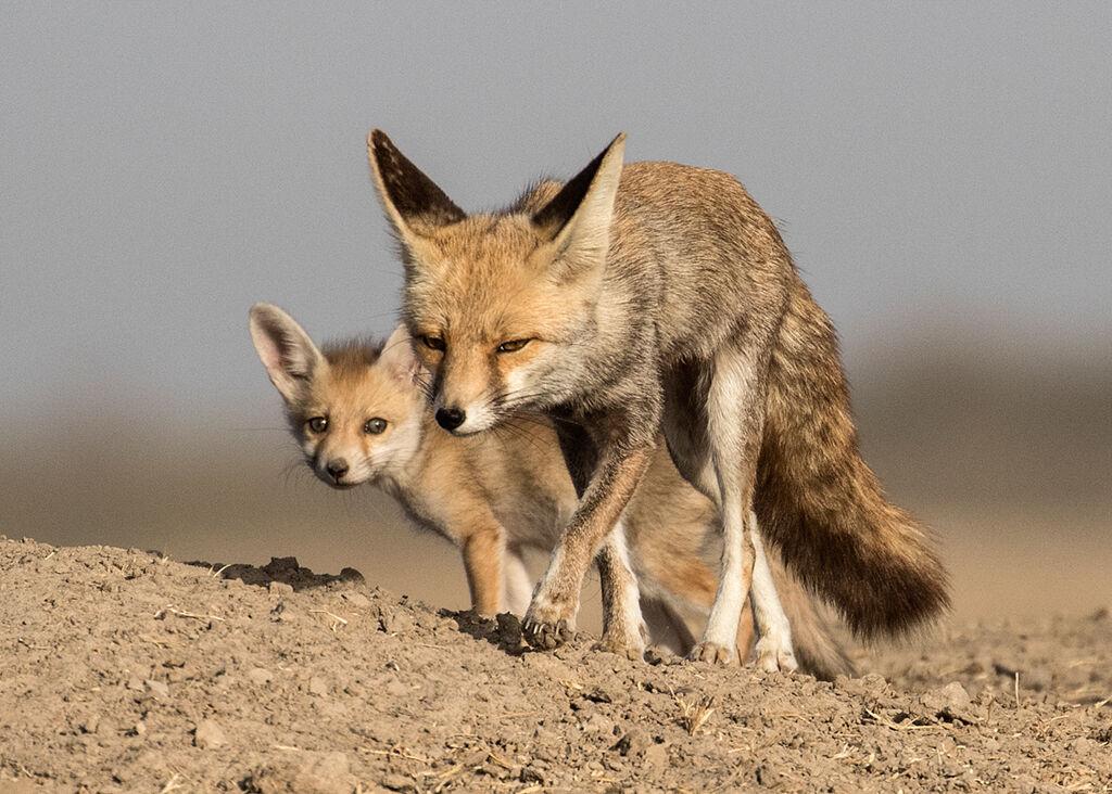 Indian Red Fox by Martin Robinson AR