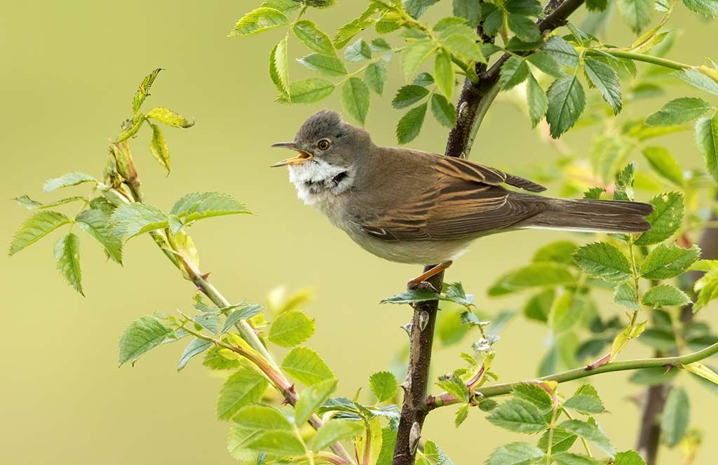 Male Whitethroat Calling by Alan Rich 12 A