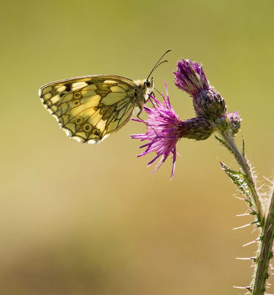 Marbled White by Alan Rich 10