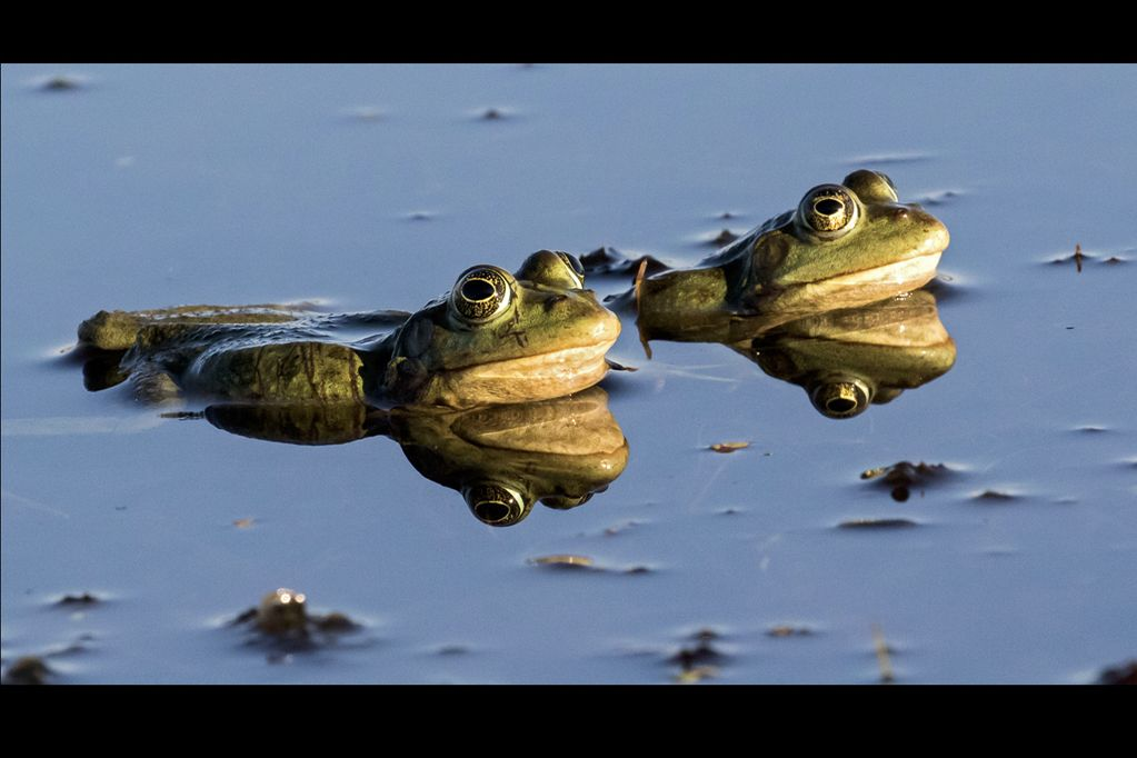 MARSH FROGS by Martin Robinson