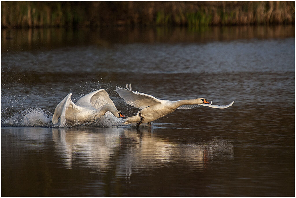Swan Conflict by Brian Stansfield 10