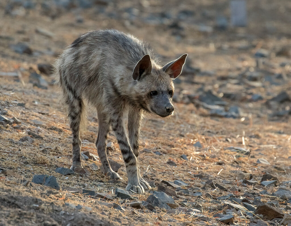 Striped Hyena by Martin Robinson AR