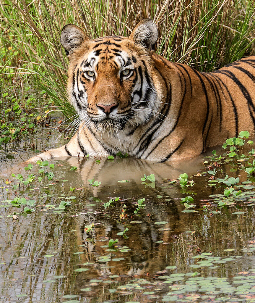 Tiger Cooling Off by Martin Robinson AR