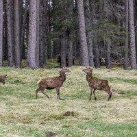 Hertenbokken, the challenge. GlHighlands, Schotland