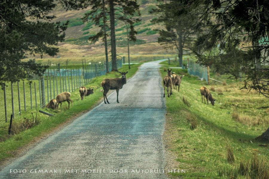 Hertenbokken op de weg / deer on the road