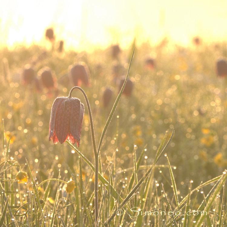 kievitsbloemen ochtendlicht