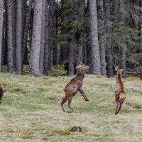 Vechtende hertenbokken, er is een winnar. Wegwezen jij!. Glen Shirra, Highlands, Schotland