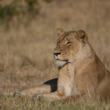 African Lion female