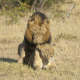 African Lions mating
