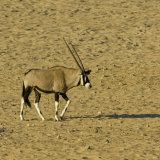 Gemsbok (or Oryx)