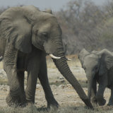 African Elephant mum and baby