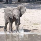 African Elephant youngster