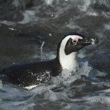 African Jackass Penguin
