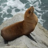 Californian Sealion