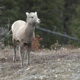 Bighorn Sheep youngster