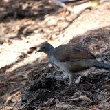 Superb Lyrebird (female)