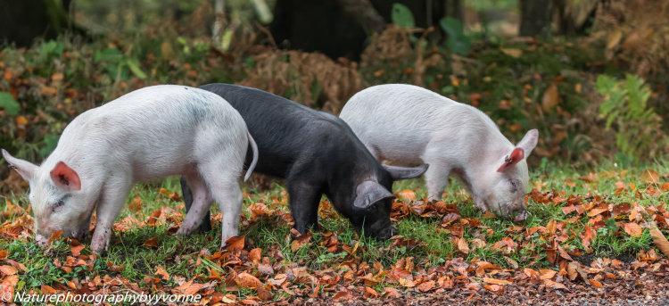 The three piggies