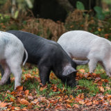 The three piggies