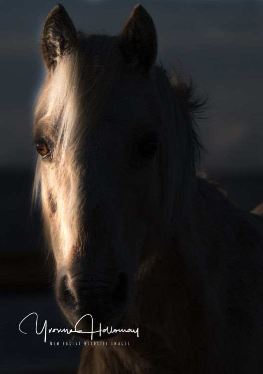 New Forest pony at dawn